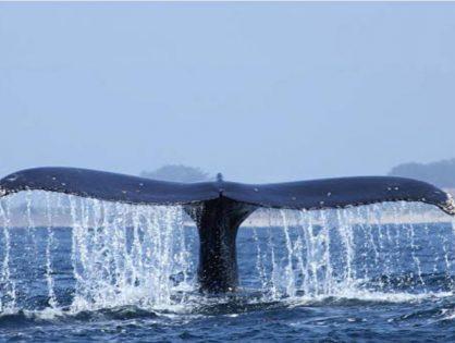 Muere una ballena que había tragado 80 bolsas de plástico